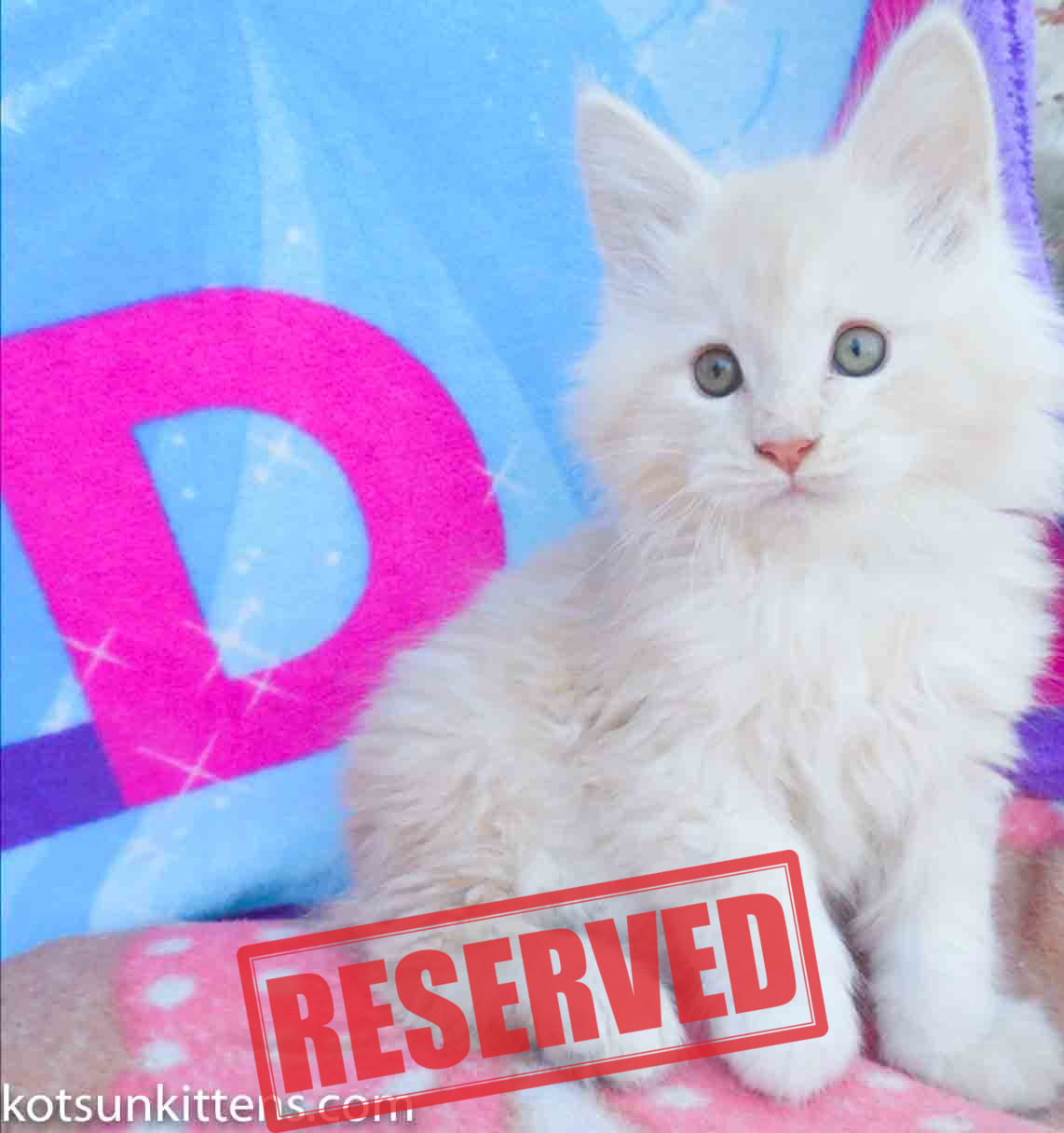 Eclair Kotsun Kittens